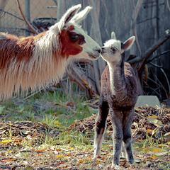 2014-05-27-Llama-Alpaca