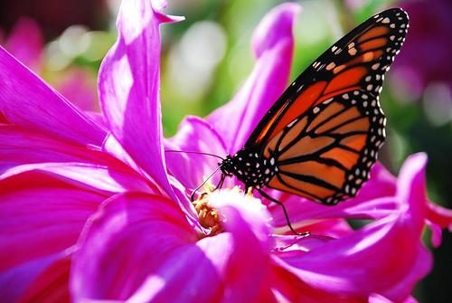dahlia butterfly