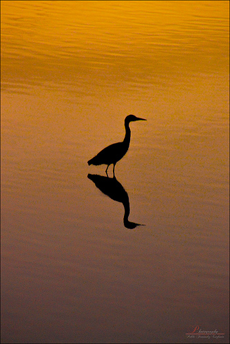 Bird standing in lake at sunset