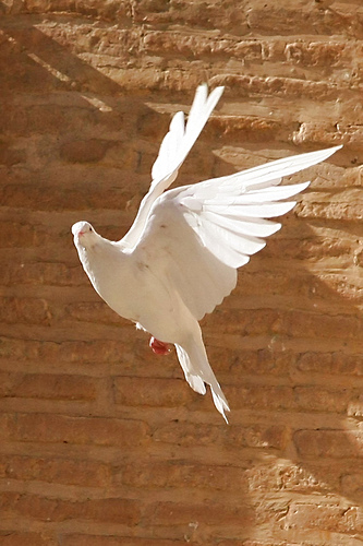 A white dove in flight