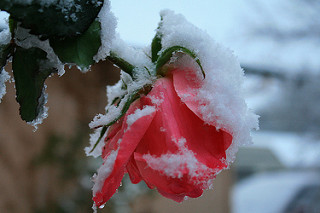 A pink rose covered in snow