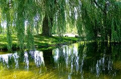 Willow by a pond