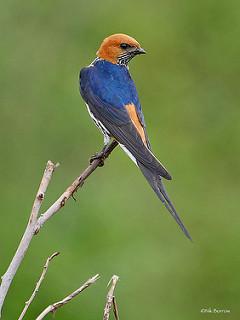 Lesser Striped Swallow Cecropis abyssinica unitatis