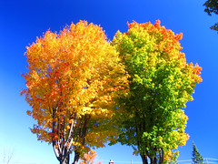 Two maple trees in autumn colors