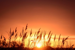 The sun rising over grasses