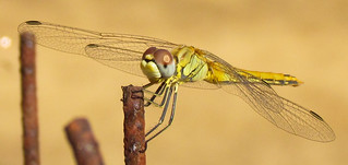 Golden dragonfly standing on branch